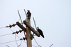 Ospreys on pole