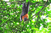 Lyle's flying fox (Pteropus lylei)