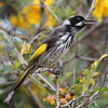 New Holland Honeyeater 1