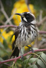 New Holland Honeyeater 2