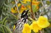 New Holland Honeyeater 3