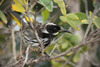 New Holland Honeyeater 4
