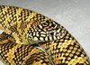 Brooks kingsnake(high-yellow phase)