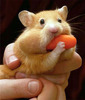 [Funny Animals] Carrot Hamster