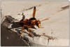 Mud dauber wasp