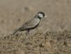 Black crowned Sparrow Lark