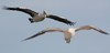 air traffic (Australian Pelican & Pacific Gull)