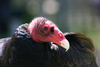 Toulouse, the Turkey Vulture (Cathartes aura)
