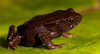 Lost Frogs Update: Three New Species Discovered in Colombia [Conservation-International 2010.11....