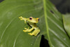 Endangered Tree Frog Bred In Captivity for the First Time [LiveScience 2010-11-18]