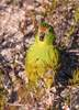 New Parrot Species Discovered in Western Australia [LiveScience 2010-11-24]