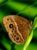 Cool Weather Heats Up Female Butterfly Quest for Sex [LiveScience 2011-01-07]