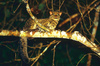 Marbled cat (Felis marmorata)
