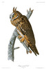 LONG-EARED OWL - Strix otus (Now: Asio otus).   John Audubon.