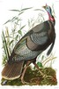WILD TURKEY (Male)  -  Meleagris gallopavo.  John Audubon.
