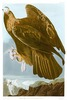 GOLDEN EAGLE  -  Aquila chrysaetos.  John Audubon.
