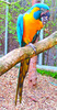 Blue-throated macaw (Ara glaucogularis)
