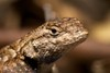 Without Lizards to Latch Onto, Lyme Disease Ticks Depart [LiveScience 2011-02-16]