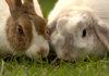 French Lop and Dutch Rabbit