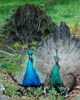 Junior Peacock and Peahen showing off - Blue peafowl (Pavo cristatus)