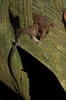Research In Action: Petite Opossums are Two Species [LiveScience 2011-03-29]