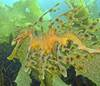 The 500 Cutest Animals - 442. Leafy Seadragon [LiveScience 2011-04-01]