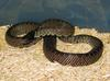 Desert Kingsnake (L. g. splendida) male