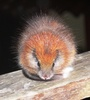 ...SPECTACULAR MAMMAL REDISCOVERED AFTER 113 YEARS! -Red-crested Tree Rat (Santamartamys rufodorsal