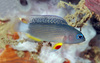 Bali's Incredible Diversity - A juvenile Manonichthys, a new dottyback [LiveScience 2011-05-16]