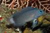 Bali's Incredible Diversity - An adult Manonichthys, a new dottyback [LiveScience 2011-05-16]