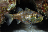 Bali's Incredible Diversity - Siphamia, a new cardinalfish [LiveScience 2011-05-16]