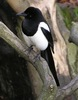 Angry Birds: Magpies Recognize a Face, and Attack [LiveScience 2011-05-19]