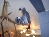 beautiful and loving african grey parrots looking for a loving family to take them