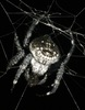 New Animal Species of 2010: Darwin's Bark Spider (Caerostris darwini) [LiveScience 2011-05-23]