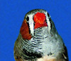 Strange He-She Birds Present Gender-Bending Mystery [LiveScience 2011-05-26]