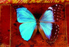 ...Stunning She-Males of the Animal World - Blue Morpho Butterfly (Morpho peleides) [LiveScience 20