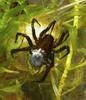 ...Underwater Gallery: Diving Spiders - Diving bell spider / Water spider (Argyroneta aquatica) [Li