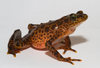 Fast-Paced Spread of Frog Fungal Disease Alarms Scientists [LiveScience 2011-06-15]