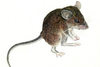 7 New Species of Mice Discovered on Remote Mountain [LiveScience 2011-06-20]
