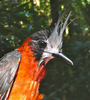 Good News! Birds Thought Extinct Return to Harvested Rain Forest [LiveScience 2011-06-23]