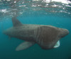Tag! Spyware Tracks Mysterious Basking Shark [LiveScience 2011-06-24]