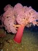 Colorful Creatures of the Philippines - Pink Coral (Umbeliulifera sp.) [LiveScience 2011-06-27]