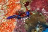 Colorful Creatures of the Philippines - Sea Slug (Nembrotha sp.) [LiveScience 2011-06-27]