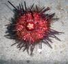 ...Colorful Creatures of the Philippines - Red Sea Urchin (Echinothrix sp.) [LiveScience 2011-06-27