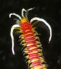 Colorful Creatures of the Philippines - Coral Worm (Myrianida sp.) [LiveScience 2011-06-27]