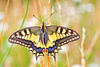 European Swallowtail (Papilio machaon)