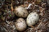 A View of Rat Island: Black Oystercatcher, Eggs in Danger [LiveScience 2011-07-10]