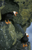 A View of Rat Island: Tufted Puffin, Fratercula cirrhata [LiveScience 2011-07-10]
