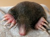 Extra Digits: Mole's Thumblike Wristbone Helps Tackle Tunneling [LiveScience 2011-07-18]