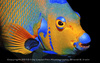 Gallery of Glowing Sea Creatures - Queen Angelfish (Holacanthus ciliaris) [LiveScience 2011-07-2...